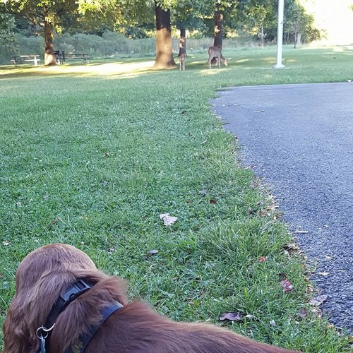 Dog training with Brewin, an Irish Setter for off leash & obedience training.